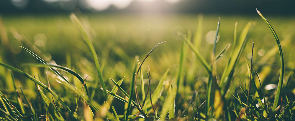 grass pollen photo